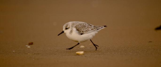 Sanderlings often run ahead of incoming wash - Neil Aldridge - Neil Aldridge