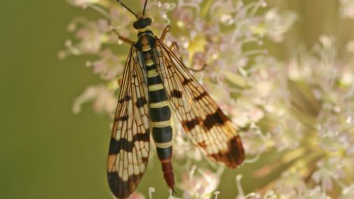 Scorpion fly - Rachel Scopes - Rachel Scopes