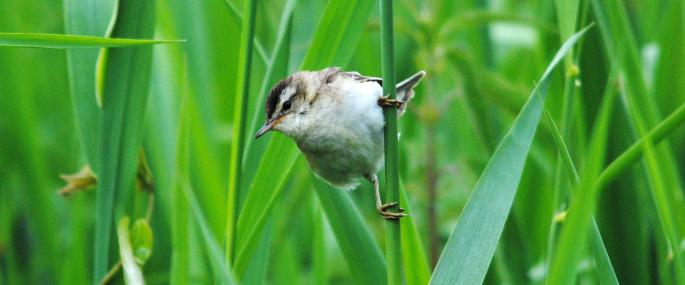 Sedge warbler in a reedbed - Amy Lewis - Amy Lewis