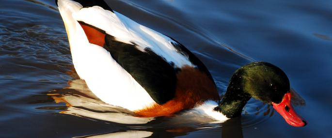 The bright colours of the shelduck make it easy to identify - Zsuzsanna Bird - Zsuzsanna Bird
