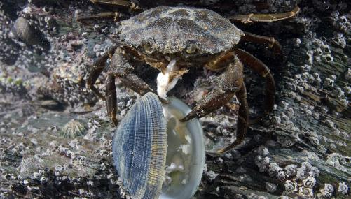 Common shore crab eating a clam - Paul Naylor - Paul Naylor