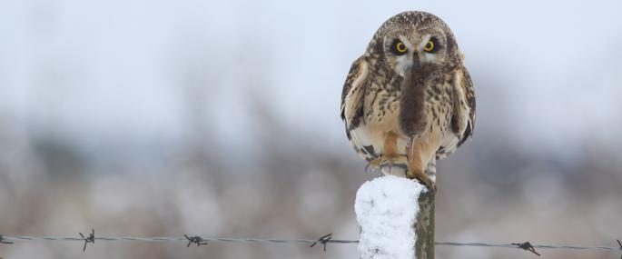 Short-eared owls feed mainly on voles - Jamie Hall - Jamie Hall
