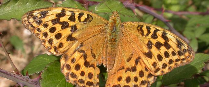Silver-washed fritillary butterfly - Philip Precey - Philip Precey