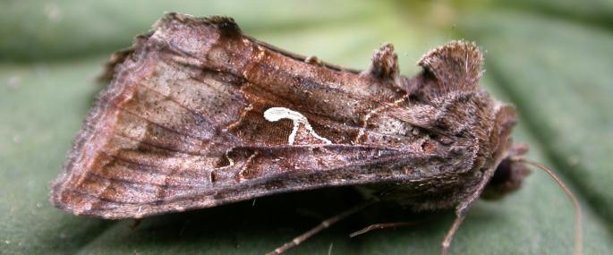 Silver Y moth - Philip Precey - Philip Precey
