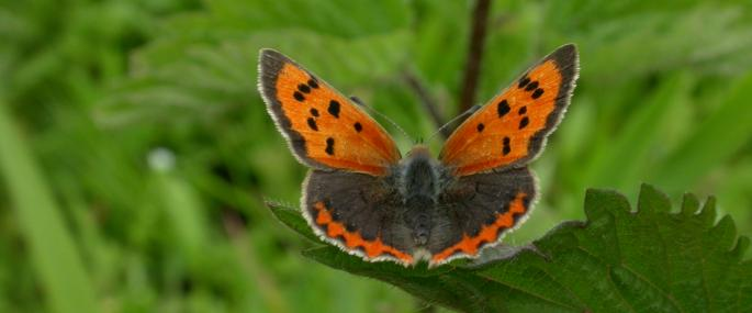 Small copper butterfly - Philip Precey - Philip Precey