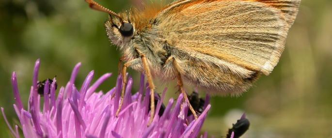 Small skipper butterfly - Philip Precey - Philip Precey