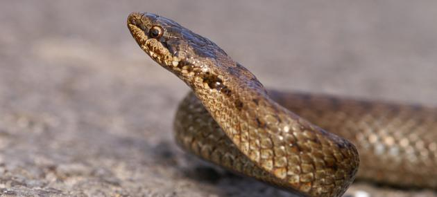 Smooth Snake | London Wildlife Trust