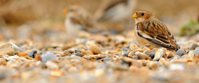 Snow bunting - Amy Lewis - Amy Lewis
