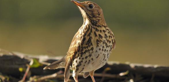 Song thrush - Steve Waterhouse - Steve Waterhouse