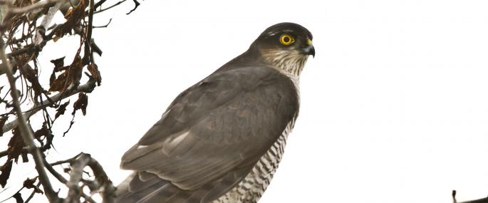 Sparrowhawk Credit Happy Hogg - Harry Hogg