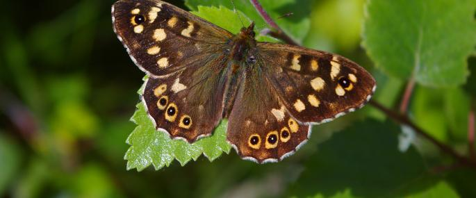Speckled wood butterfly - Neil Aldridge - Neil Aldridge