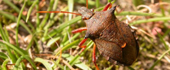 Spiked shield bug - Philip Precey - Philip Precey
