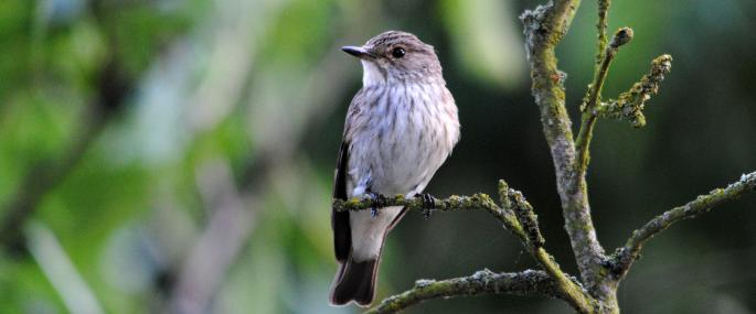 Spotted flycatcher - Amy Lewis - Amy Lewis