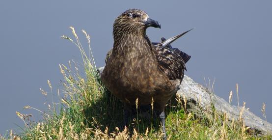 Great skua - Gillian Day - Gillian Day
