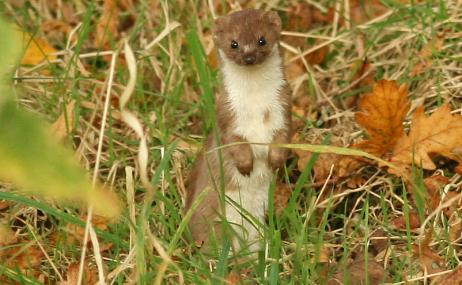 Stoat - Rachel Scopes - Rachel Scopes