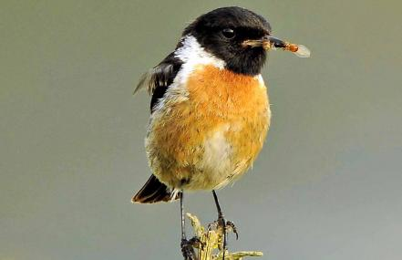 Male stonechat collecting insects for young - Steve Waterhouse - Steve Waterhouse
