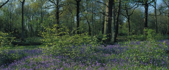 Thorpe Wood - Peter Wakely / English Nature