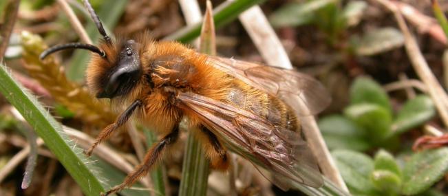 Tawny mining bee - Philip Precey - Philip Precey