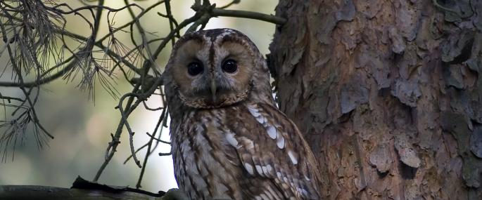 Tawny owls roost in trees during the day - Damian Waters (drumimages.co.uk) - Damian Waters (drumimages.co.uk)
