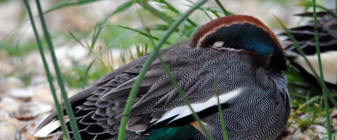 A male teal sleeping - Amy Lewis - Amy Lewis