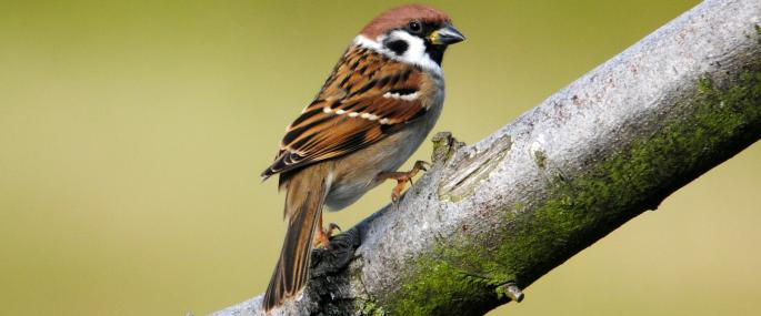 Look for the black cheek patch of the tree sparrow - Amy Lewis - Amy Lewis