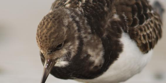 Turnstone feeding - Jamie Hall - Jamie Hall