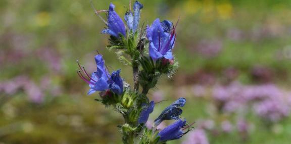 Viper's-bugloss - Philip Precey - Philip Precey