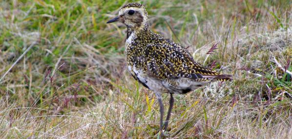 Golden plover - Gillian Day - Gillian Day