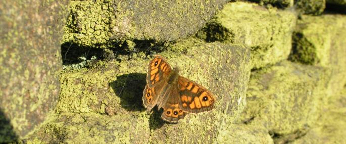 Wall brown butterfly basking on a dry-stone wall - Richard Burkmar - Richard Burkmar