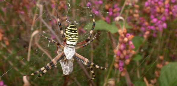Wasp spider in web - Philip Precey - Philip Precey