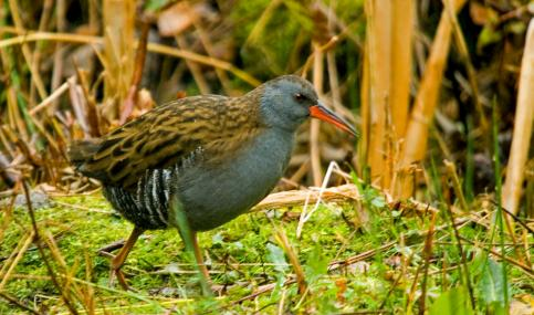 Water rail - Neil Aldridge - Neil Aldridge