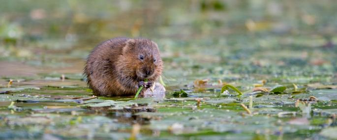 Water vole feeding - Tom Marshall - Tom Marshall