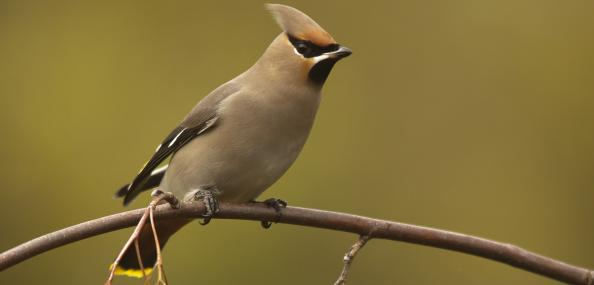 Waxwings are almost always spotted in berry-bearing trees - Jamie Hall - Jamie Hall