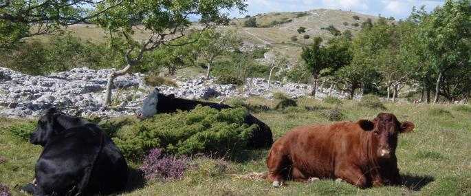 Cattle grazing on Whitbarrow -