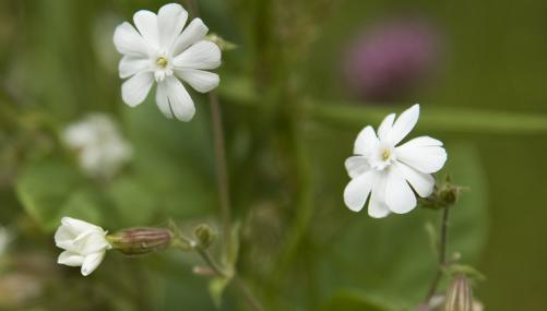 White campion - Paul Lane - Paul Lane