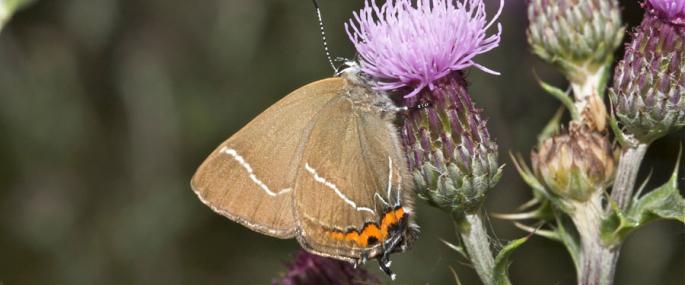 White-letter hairstreak - Rosemary Winnall