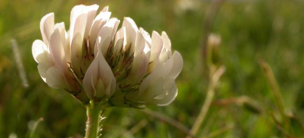 White clover - Philip Precey - Philip Precey