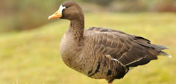 White-fronted goose - Fred Church - Fred Church