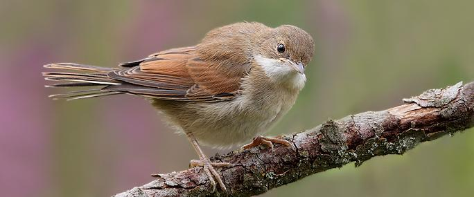 Juvenile whitethroat - Karen Summers - Karen Summers