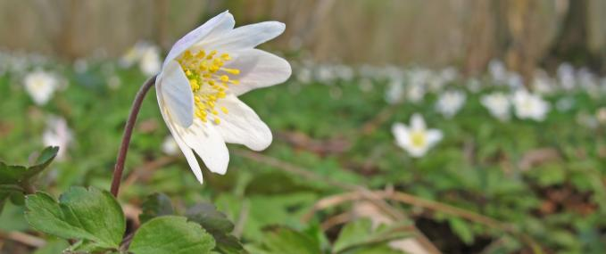 Wood anemone - Rachel Scopes - Rachel Scopes