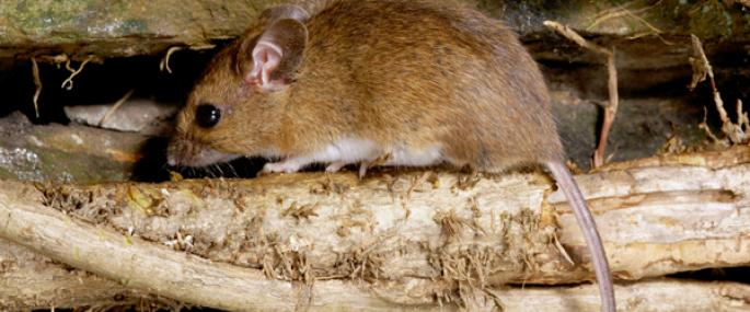 Wood mouse - Paul Adams - Paul Adams
