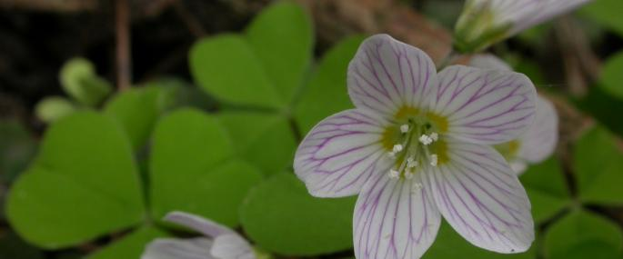 Wood sorrel - Philip Precey - Philip Precey