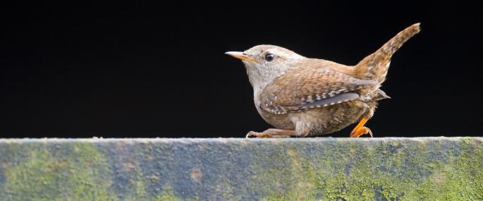 Wrens have blunt, erect tails - Tom Marshall - Tom Marshall