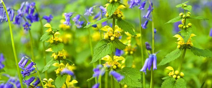 Yellow archangel - Paul Lane - Paul Lane