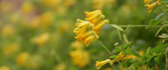 Yellow corydalis - Paul Slade - Paul Slade