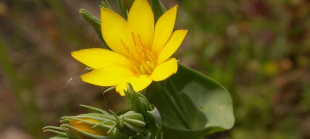 Yellow-wort - Philip Precey - Philip Precey