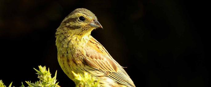 Yellowhammer - Steve Waterhouse - Steve Waterhouse