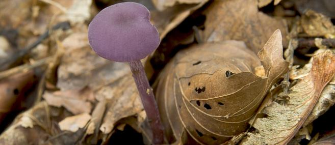 Amethyst deceiver - northeastwildlife.co.uk - northeastwildlife.co.uk
