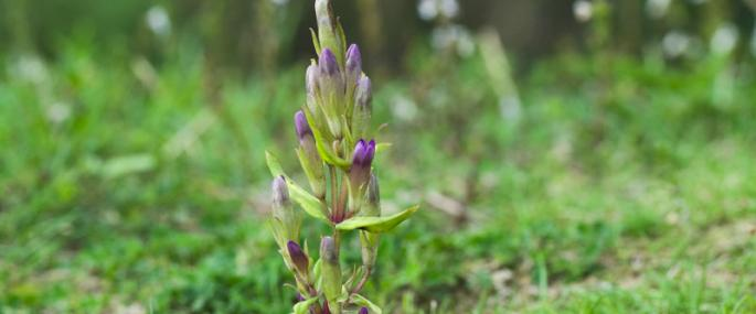 Autumn gentian - northeastwildlife.co.uk - northeastwildlife.co.uk
