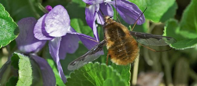 Bee-fly - northeastwildlife.co.uk - northeastwildlife.co.uk